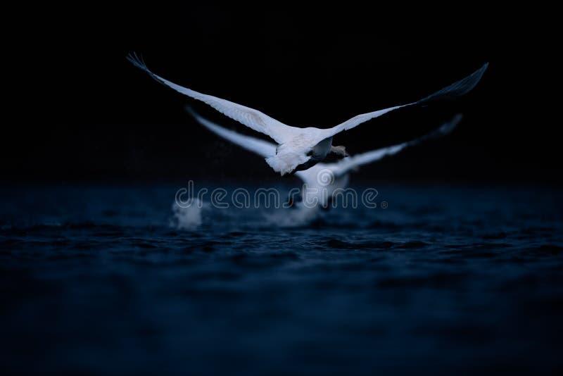 Dwie łabędzie startują na ciemnoniebieskiej wodzie zdjęcia royalty free