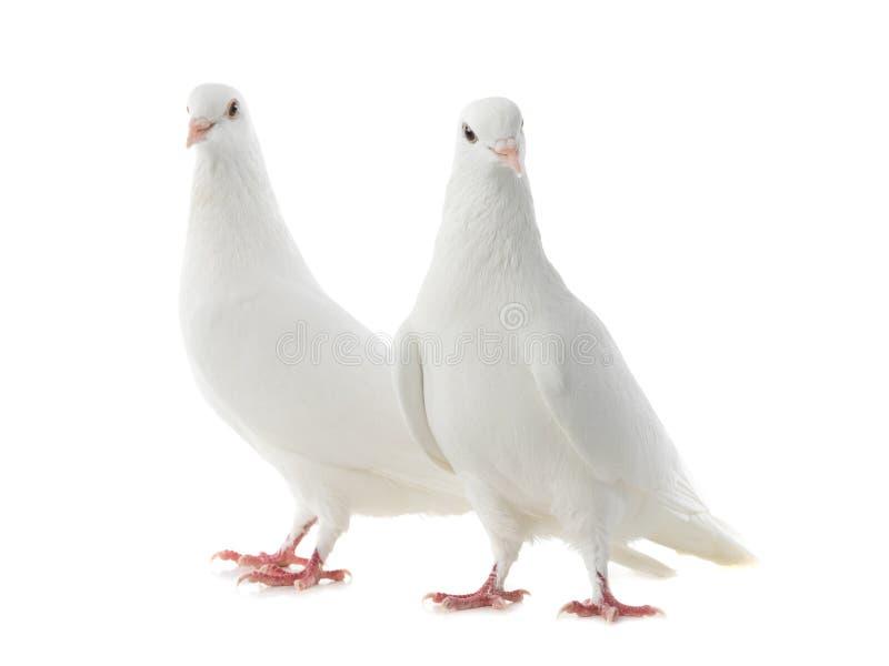 Dwie białe gołębie wyizolowane na białym obrazy royalty free