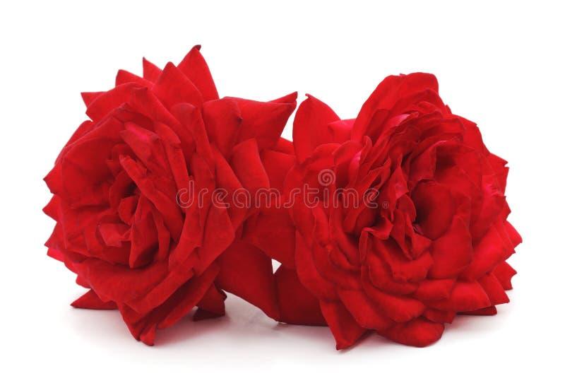 dwie czerwone róże fotografia royalty free