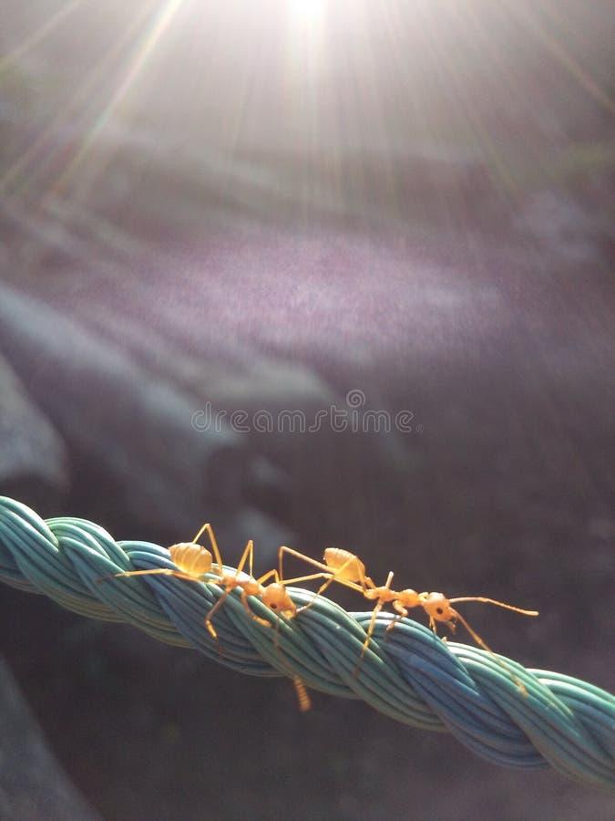 dwie mrówki obraz stock