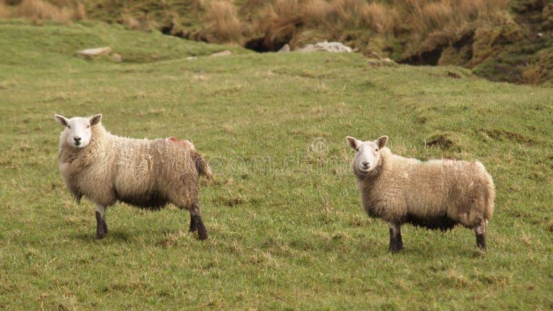 dwie owce obraz royalty free