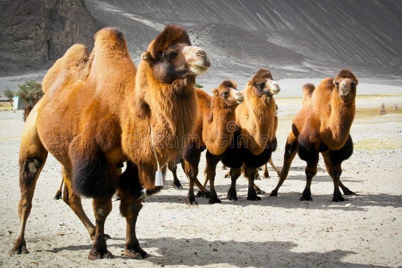 Dwoiści garbów wielbłądy obrazy royalty free