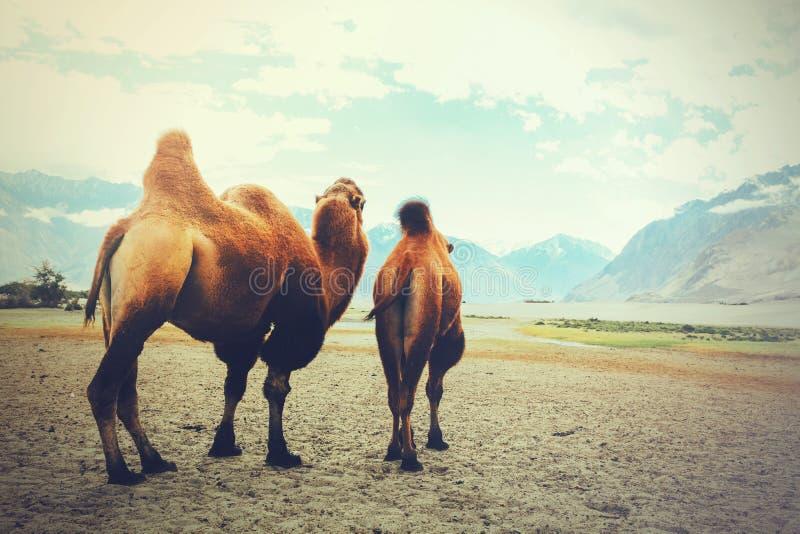 Dwoiści garbów wielbłądy ustawia daleko na ich podróży w pustyni w Nubra dolinie, Ladakh, India obraz stock