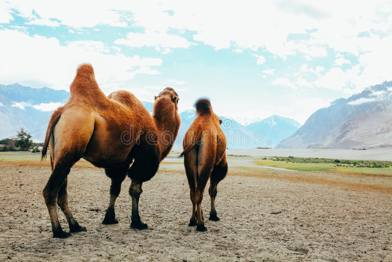 Dwoiści garbów wielbłądy ustawia daleko na ich podróży w pustyni w Nubra dolinie, Ladakh, India zdjęcie stock