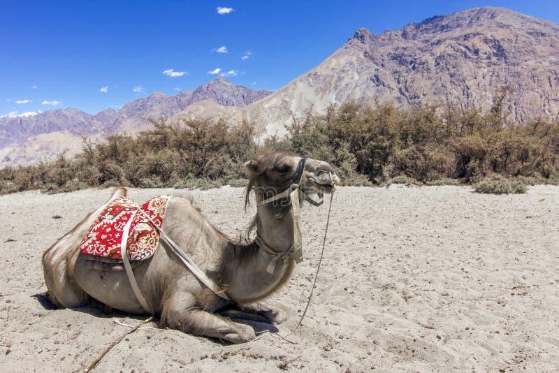 Dwoistego garbu wielbłądzi odpoczywać w suchym upale Nubra dolina, Ladakh, India fotografia stock
