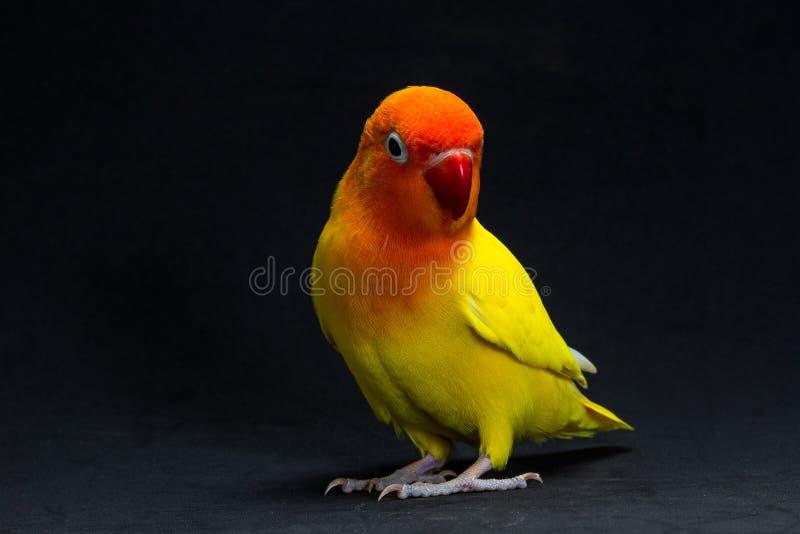 Dwoisty Żółty Lovebird, ptak obraz stock