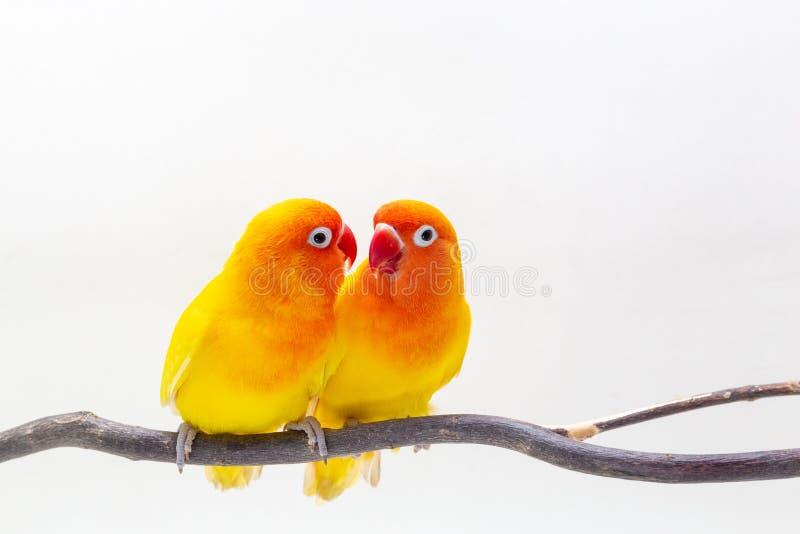 Dwoisty Żółty Lovebird na białym backgro fotografia royalty free