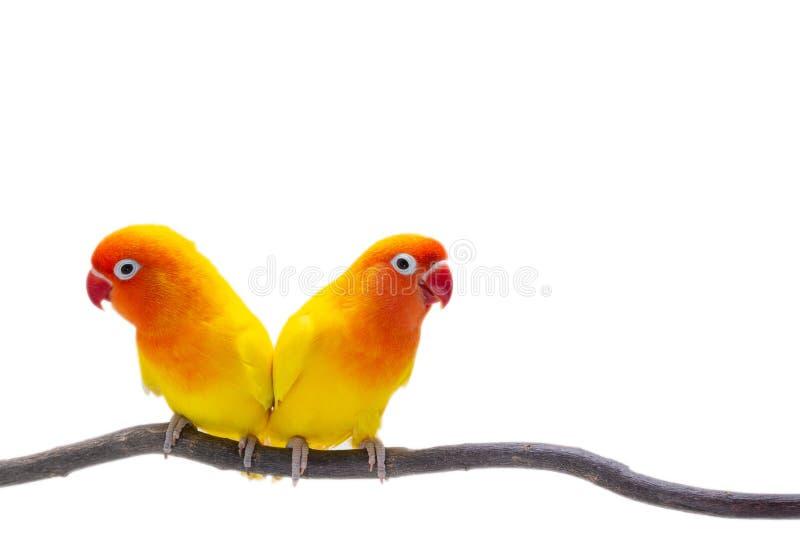 Dwoisty Żółty Lovebird na białym backgro obraz stock