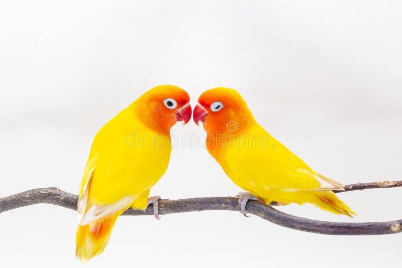 Dwoisty Żółty Lovebird na białym backgro zdjęcia stock