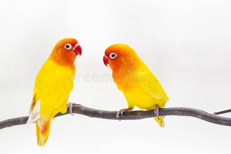 Dwoisty Żółty Lovebird na białym backgro zdjęcie royalty free