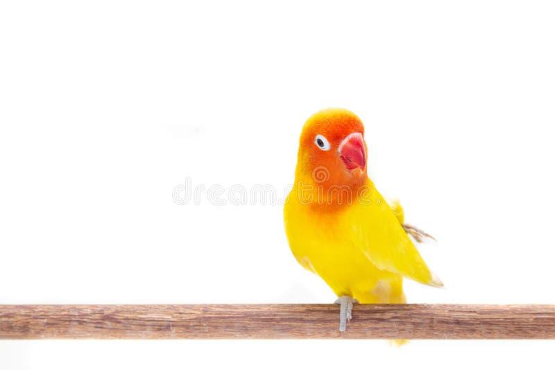 Dwoisty Żółty Lovebird na bielu obraz royalty free