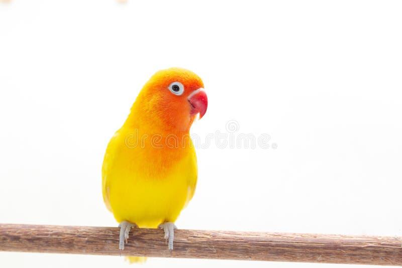 Dwoisty Żółty Lovebird na bielu zdjęcie royalty free