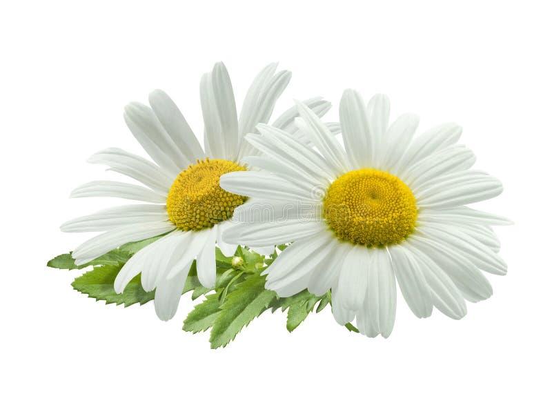 Dwoisty chamomile skład odizolowywający na białym tle zdjęcie royalty free