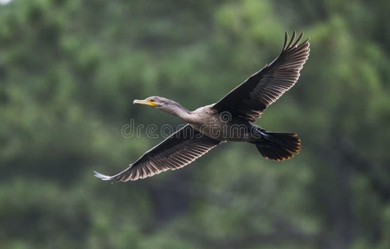 Dwoisty Czubaty kormoran w locie, Gruzja usa zdjęcia stock