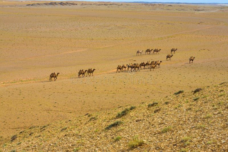 Dwoisty garbów Bactrian wielbłądów Gobi pustyni Wysoki kąt zdjęcia stock