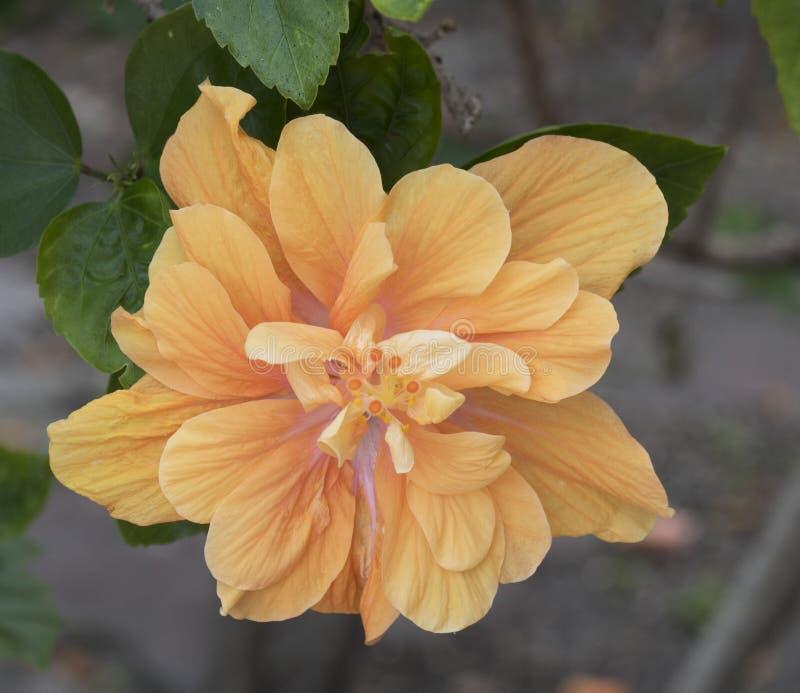 Dwoisty poślubnik w świetle - pomarańcze zdjęcie royalty free