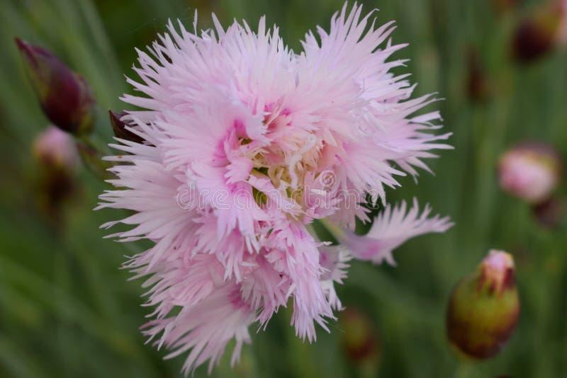 Dwoisty Różowy goździk zdjęcie stock