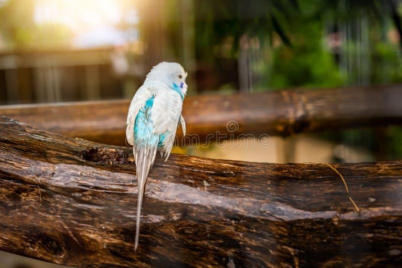 dwulicowy lovebird brzoskwiniowe obraz royalty free