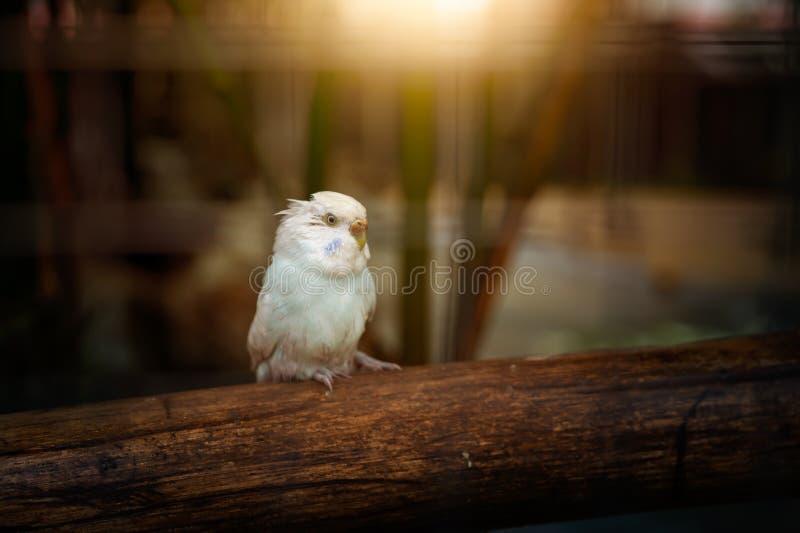 dwulicowy lovebird brzoskwiniowe fotografia royalty free