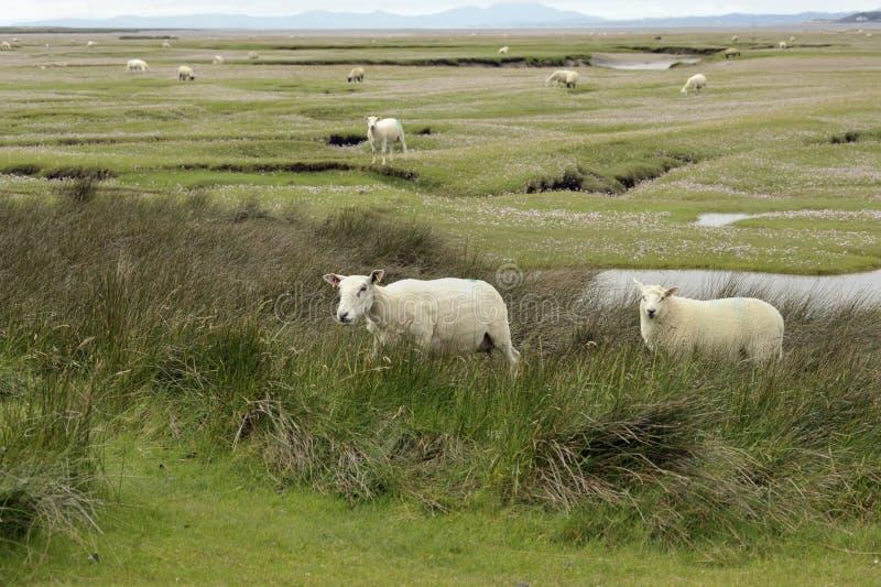 Dwyryd-Mündungsschafe in Wales lizenzfreies stockfoto