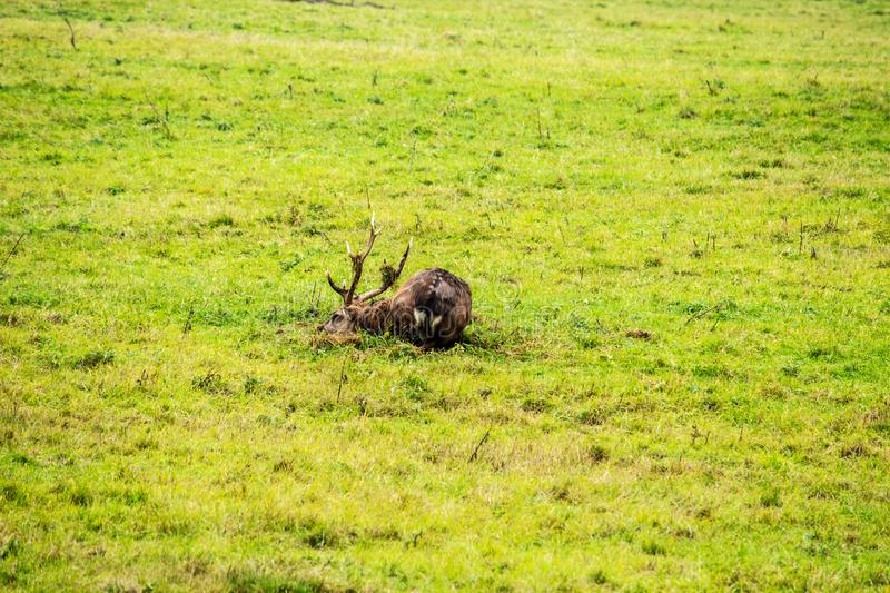 A Dybowski deer rolling on the ground, Cervus nippon hortulorum royalty free stock photography
