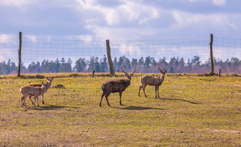 Dybowski deer (Sika deer) royalty free stock photo
