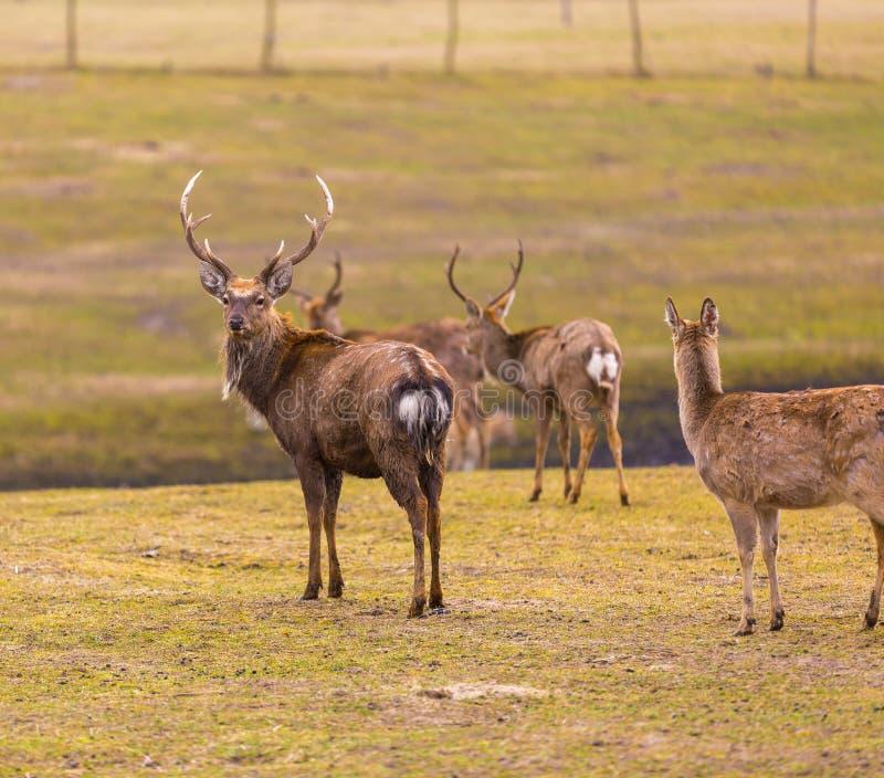 Dybowski deer (Sika deer) stock photos