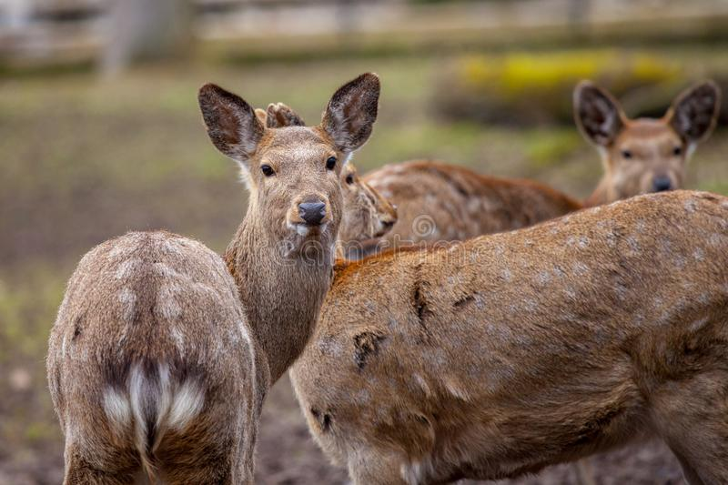Dybowski deer stands in a wildlife scene royalty free stock photo