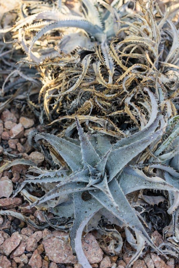 Dyckia marnier lapostollei estevesii succulent cactus. Close up royalty free stock photos