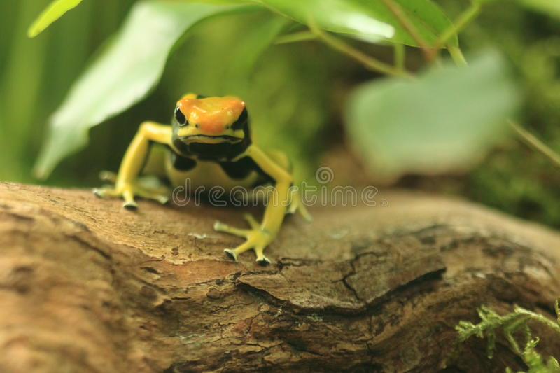 Download Dyeing dart frog stock photo. Image of dart, trunk, nature - 25415838