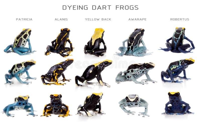 Dyeing poison dart frogs set, Dendrobates tinctorius, on white royalty free stock images