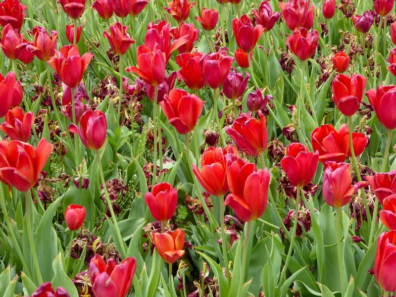 Dying and blooming red tulips royalty free stock image