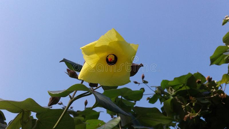 Dying Beach Hibiscus Flower Nature Plants Trees stock photography