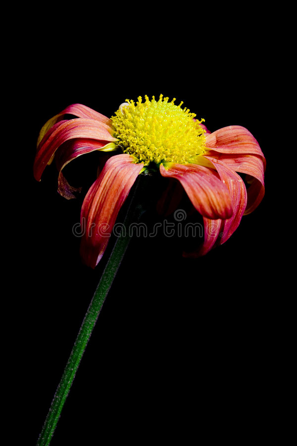 Dying flower stock photography