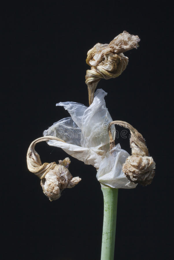 Dying Iris Stock Photo