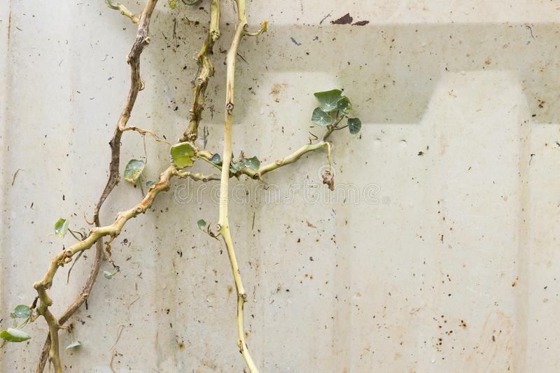 Dying plant over old rusty white metal wall background royalty free stock photo
