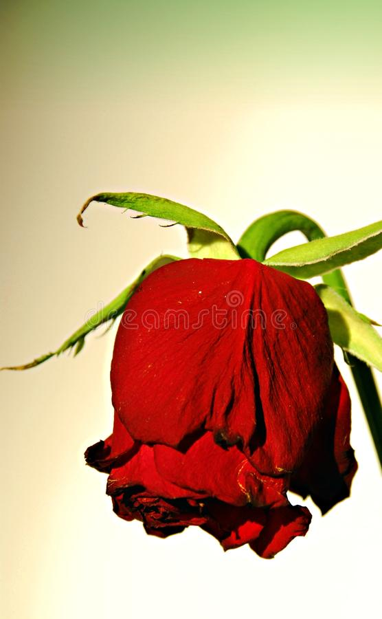 Dying rose stock image
