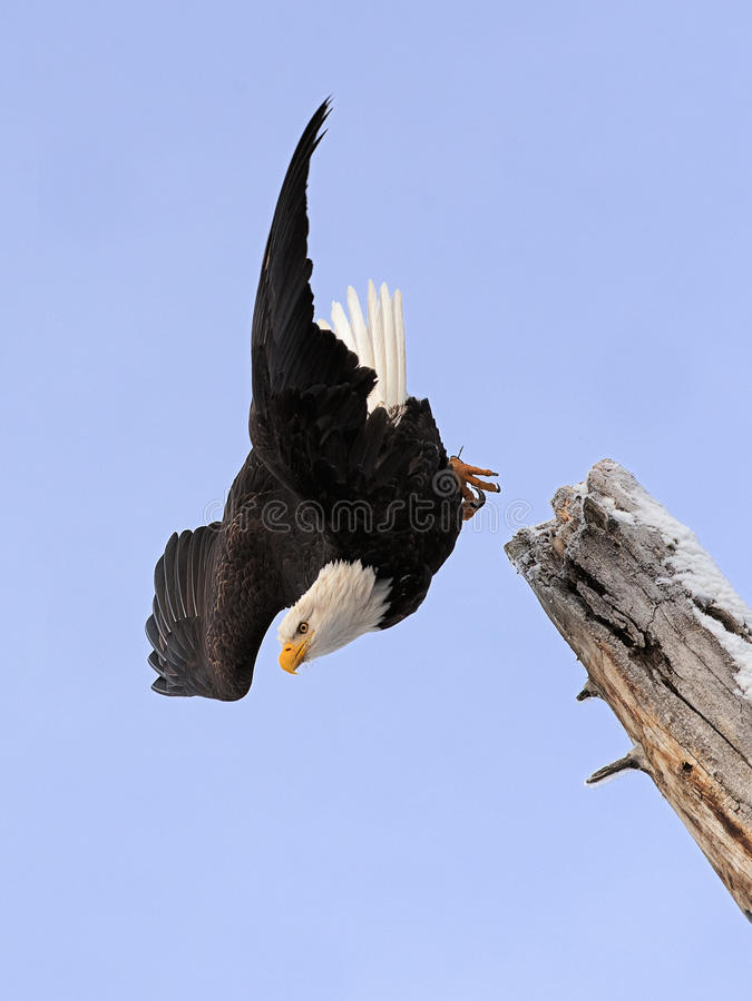 Dyka den skalliga örnen royaltyfri fotografi