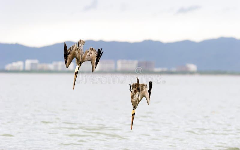 Dyka för pelikan royaltyfri foto