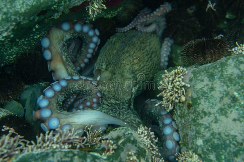 Dyka och undervattens- fotografi, bläckfisk under vatten i dess naturliga livsmiljö vektor illustrationer