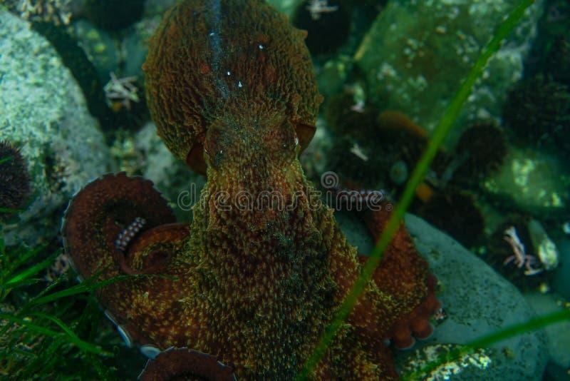 Dyka och undervattens- fotografi, bläckfisk under vatten i dess naturliga livsmiljö stock illustrationer