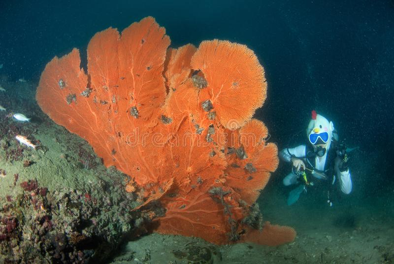 Dykapparatdykning för ung kvinna på en härlig seafan rev i söder och arkivfoto
