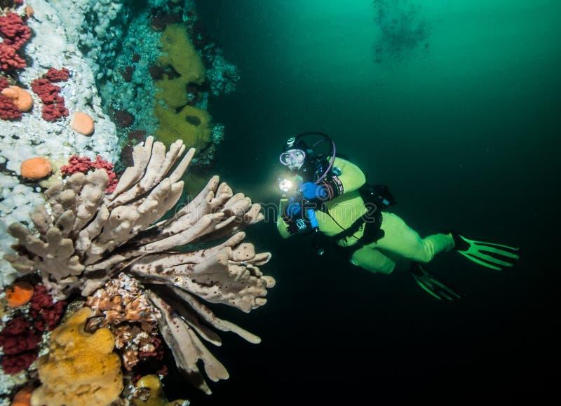 Dykapparatdykning i British Columbia, Kanada arkivbilder