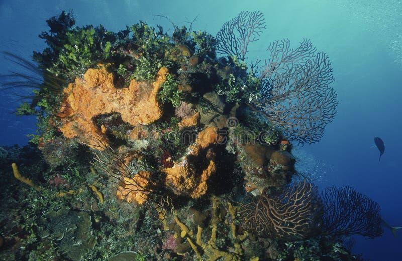 Dykapparatdykning på korallreven på Cozumel i Mexico royaltyfri bild