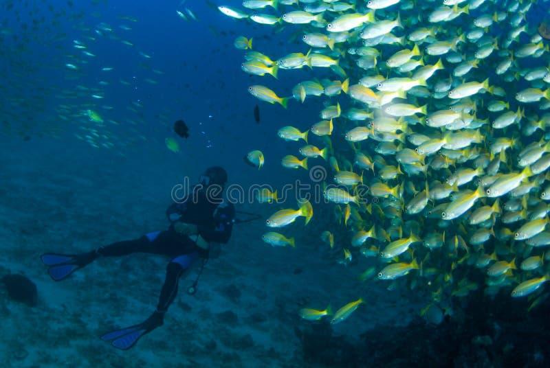 Dykare med fisken royaltyfri bild