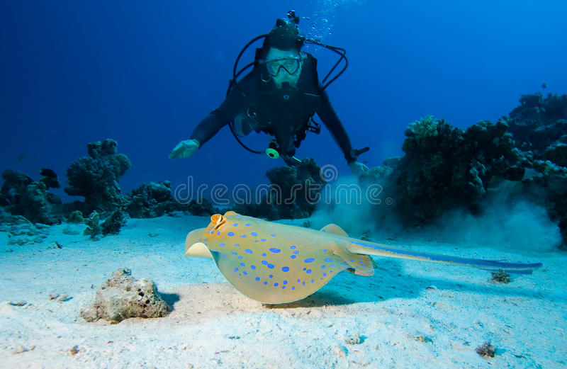 Dykare- och Bluespotted stingray royaltyfria bilder