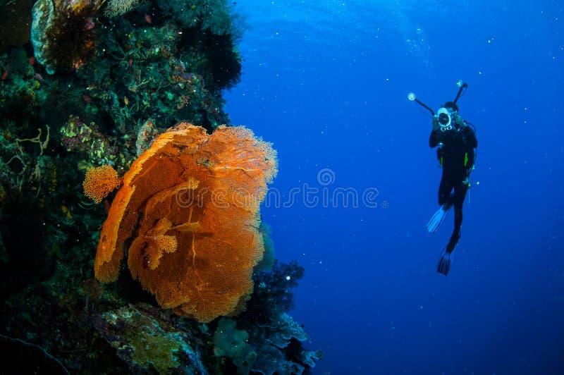 Dykare och havsfan Melithaea i Banda, Indonesien undervattens- foto royaltyfri fotografi