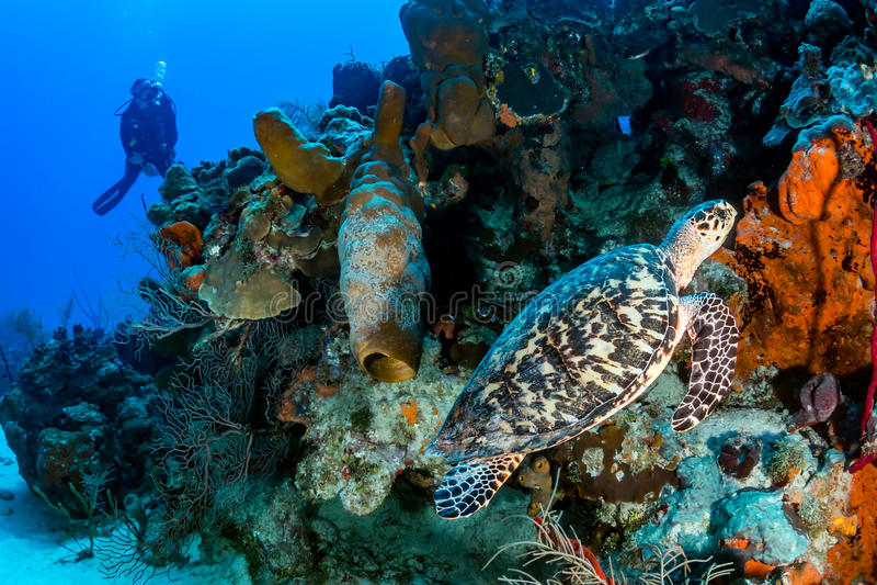 Dykare och sköldpadda royaltyfria bilder
