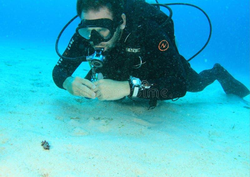 Dykare som håller ögonen på den flamboyanta bläckfisken arkivbilder