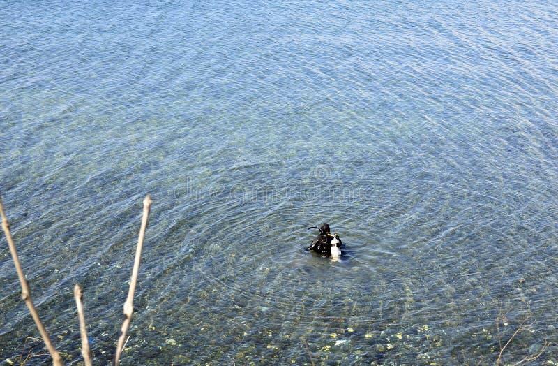Dykare som kopplas in i undervattens- jakt royaltyfria foton